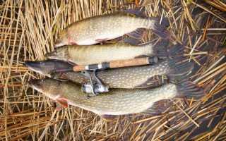 Рыбалка на щуку осенью на спиннинг