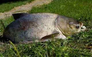 На что ловить толстолобика летом