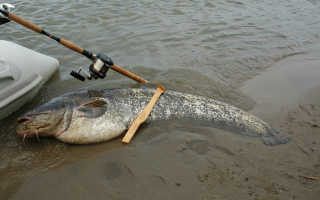 Как сделать квок для рыбалки на сома