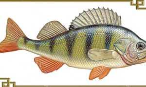 Речной окунь – подробное описание,разновидности, особенности питания и жизненного цикла