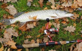 Как ловить щуку осенью